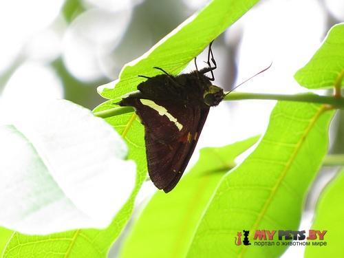 Epargyreus antaeus