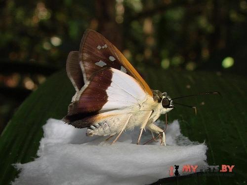 Drephalys alcmon