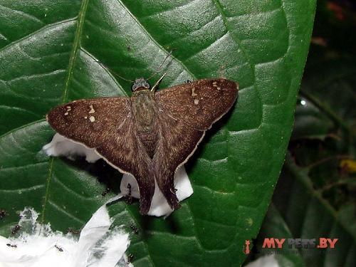 Polythrix minvanes