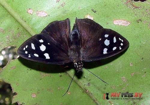 Hyalothyrus infernalis