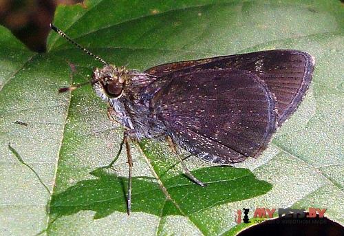Mnasitheus nitra