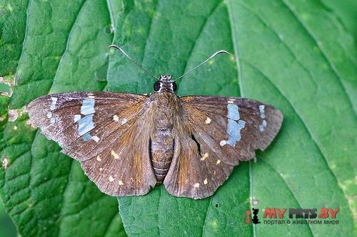 Celaenorrhinus leucocera