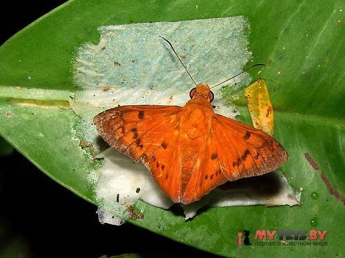 Bungalotis clusia