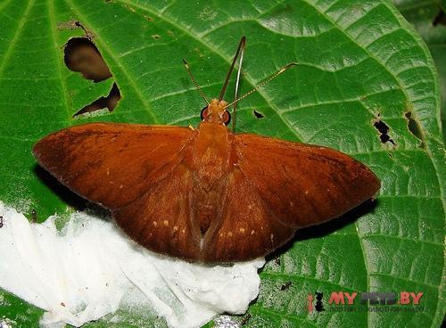 Dyscophellus nicephorus