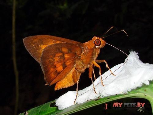 Bungalotis astylos