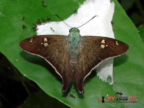 Polythrix ceculus