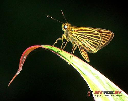 Parphorus storax