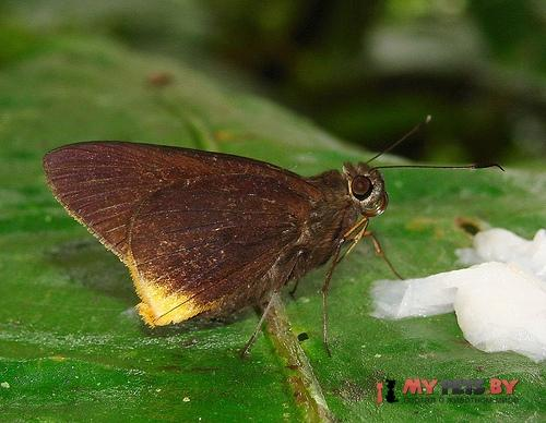 Astraptes phalaecus