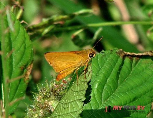 Zariaspes mythecus