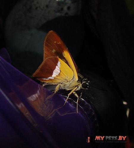 Drephalys phoenice