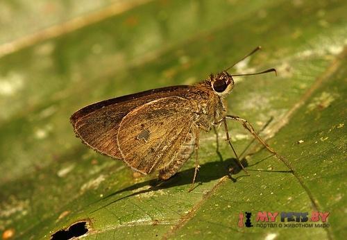 Scobura phiditia