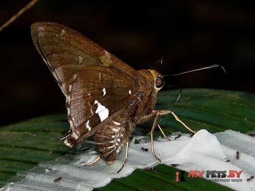Epargyreus exadeus