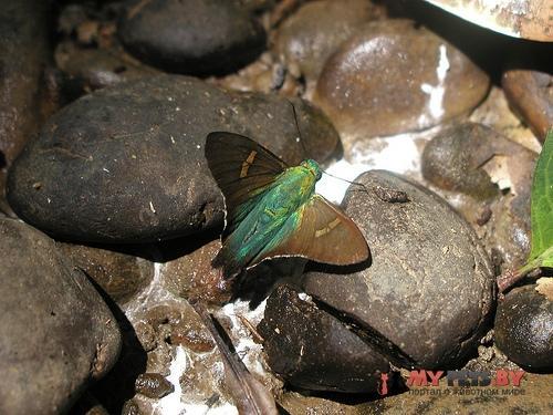 Polythrix eudoxus