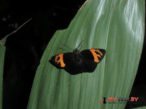 Entheus priassus