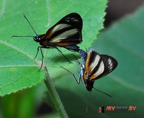 Vettius phyllus