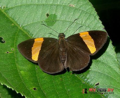 Celaenorrhinus syllius