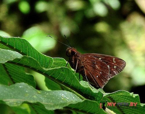 Orphe vatinius