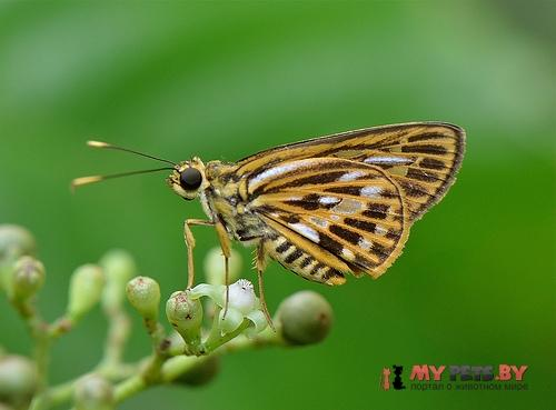 Pyroneura latoia