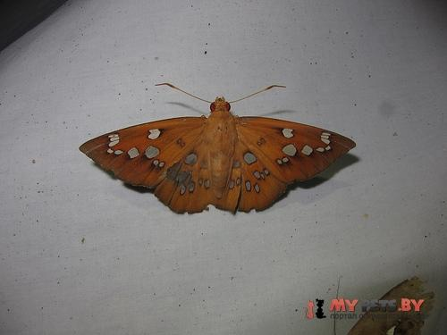 Dyscophellus sebaldus