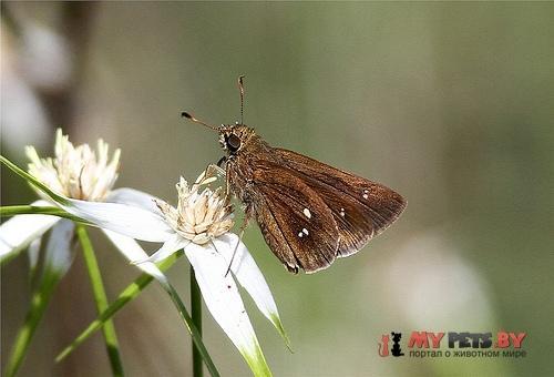 Oligoria maculata