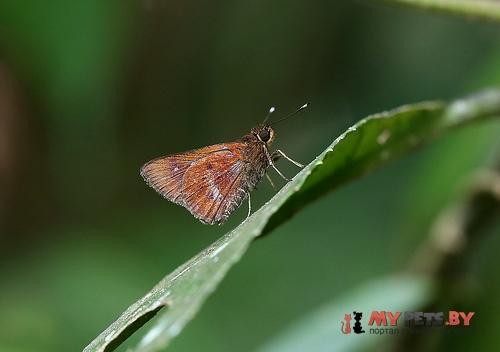 Zographetus ogygia