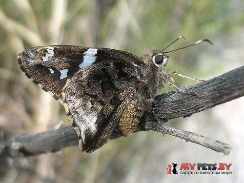 Codatractus arizonensis