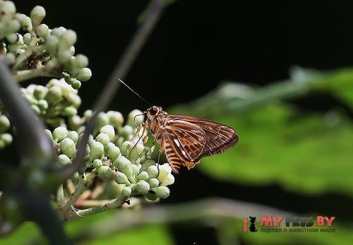 Pyroneura derna