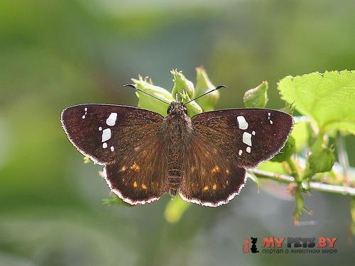 Celaenorrhinus kurosawai