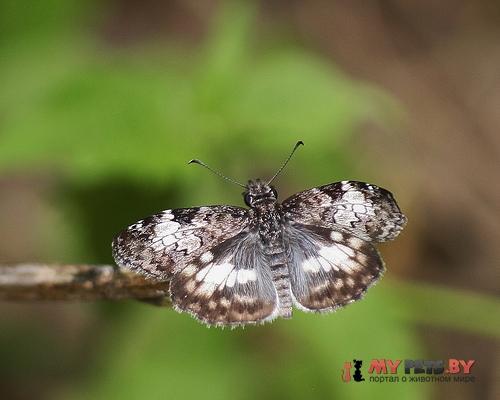Chiomara asychis