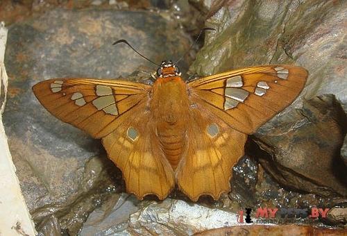 Myscelus phoronis