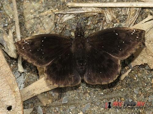 Anisochoria pedaliodina