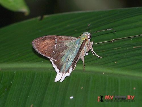 Urbanus virescens