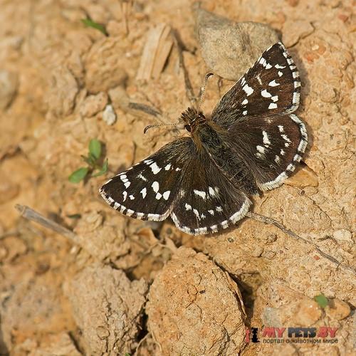 Pyrgus maculatus