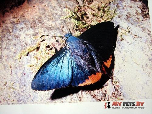 Chalypyge chalybea