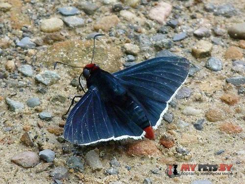 Pyrrhopyge sergius