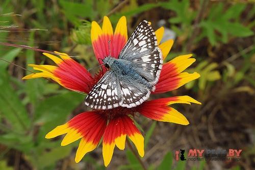 Pyrgus albescens