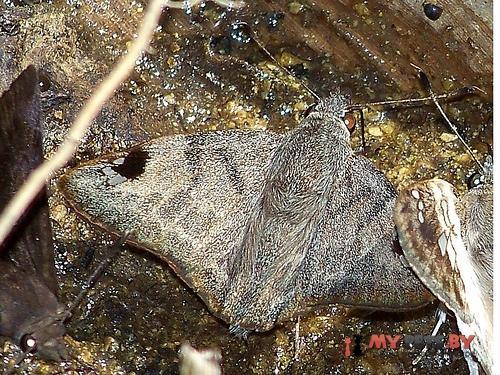 Arteurotia tractipennis