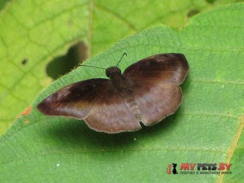 Anastrus meliboea