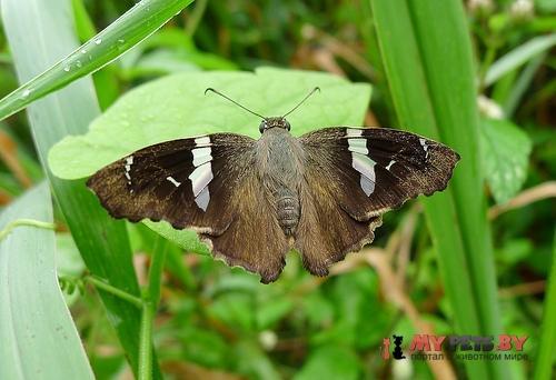 Spathilepia clonius
