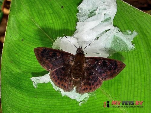 Pachyneuria duidae