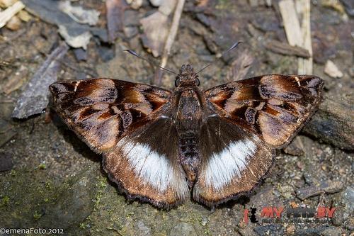Noctuana lactifera