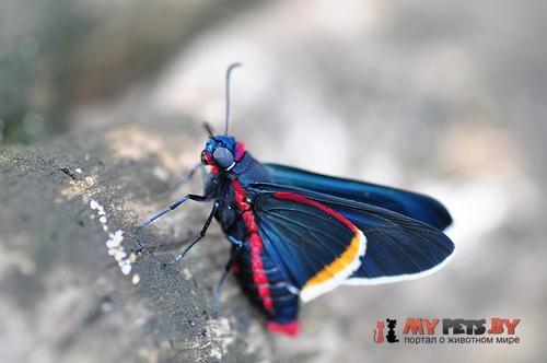 Mysoria barcastus