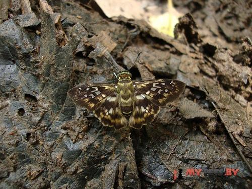 Udranomia kikkawai