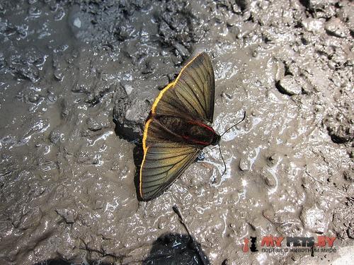 Pyrrhopyge telassina