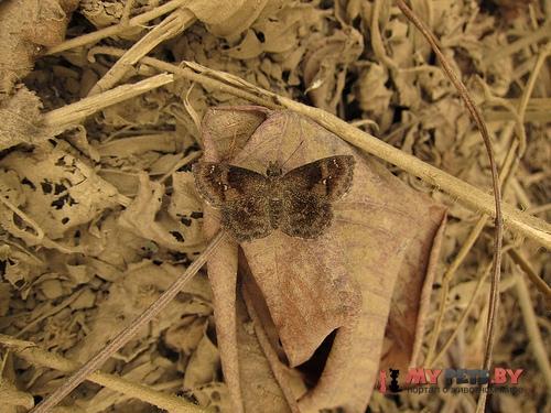 Staphylus huigra