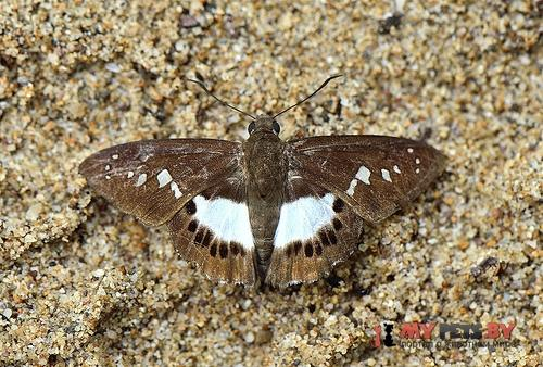 Seseria affinis
