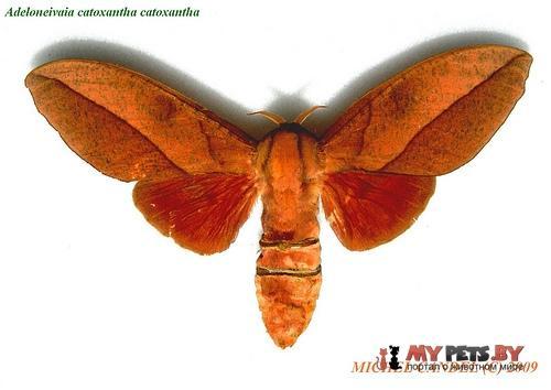 Adeloneivaia catoxantha