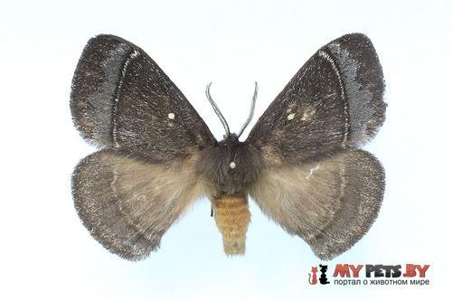 Neopreptos marathusa