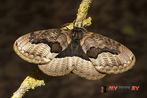 Brahmaea tancrei