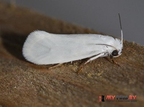 Tegeticula yuccasella